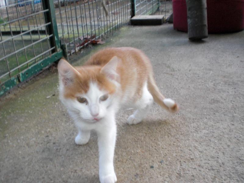 ETNA chaton F rousse et blanche 4 mois 14_nov20