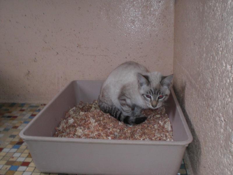 Tiramitsu chaton F environ 5 mois(35) Tirami12