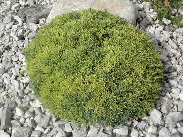 Dianthus erinaceus - Page 2 Dianth10