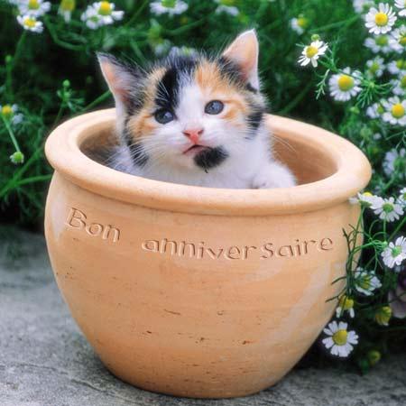Bon anniversaire Lilasflore Chat_b14