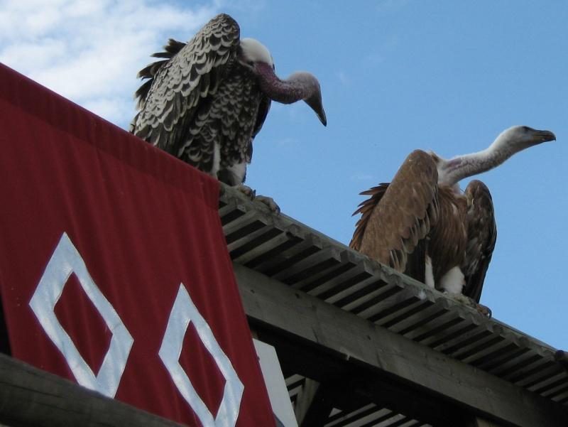 Hors sujet -----------> Le puy du fou en Vendée (85) Oiseau12