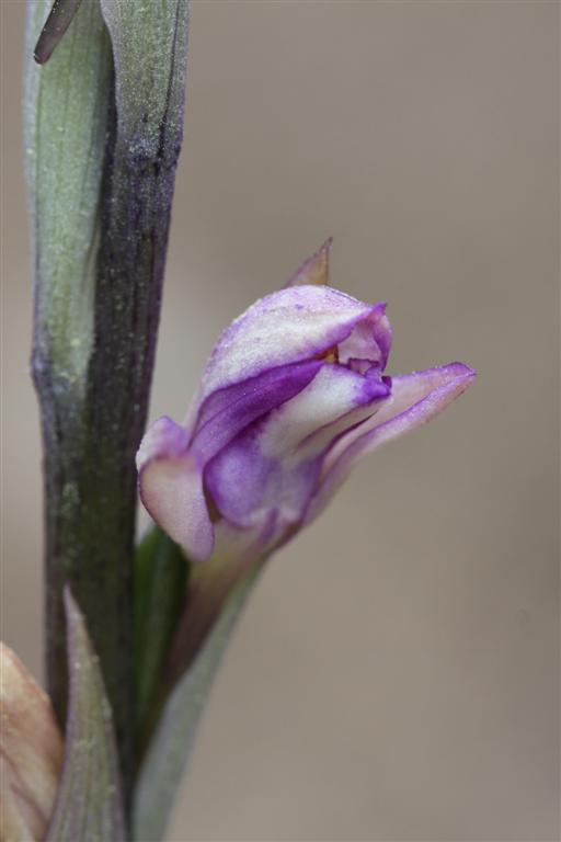 Limodorum abortivum  ( Limodore à feuilles avortées ) 11-04-11