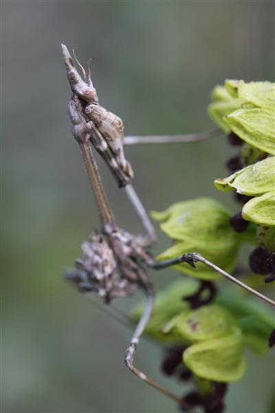 Orchis punctulata O_punc12