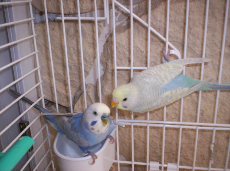 deux perruches qui essaie d'adopter smile Azure_12