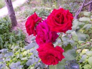Ο κήπος της θείας Χαρίκλειας Hpim8920