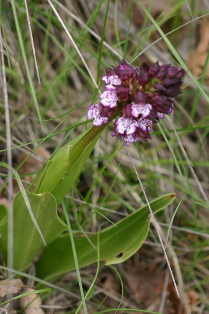 """Mon orchidérarium """"Par Francis"""" - Page 2 Bactan11"""