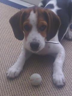 BEN, beagle mâle, 3 ans (85) Img_0325