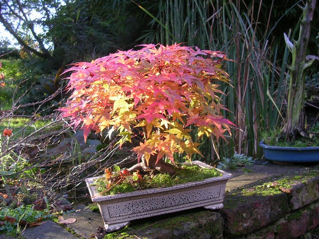 Un joli bonsaï pour Papy Automn13