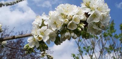 fruitiers en fleurs Fleurs10