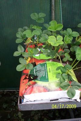 Ginou a écrit..Culture hors sol pour des fraisiers Fraisi11