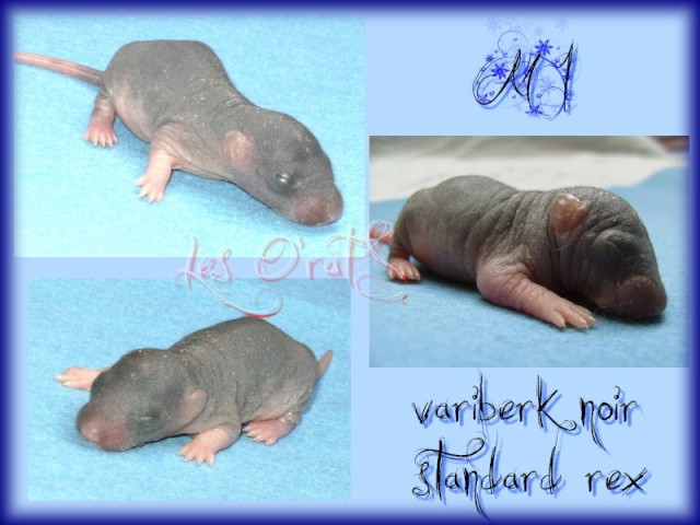 Shimi * Elioth, mink, noir, rex, vari, down under...(67) M1tag10