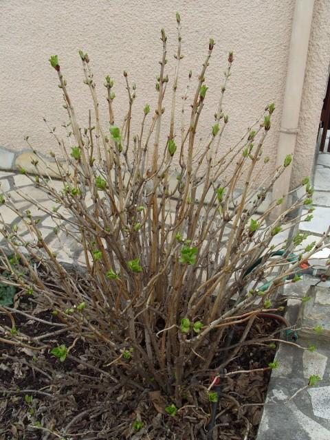 Hortensia des jardins S1050426