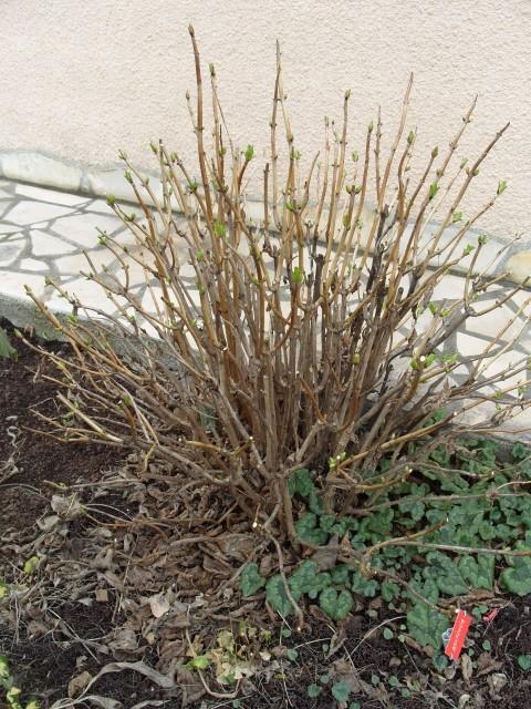 Hortensia des jardins S1050427