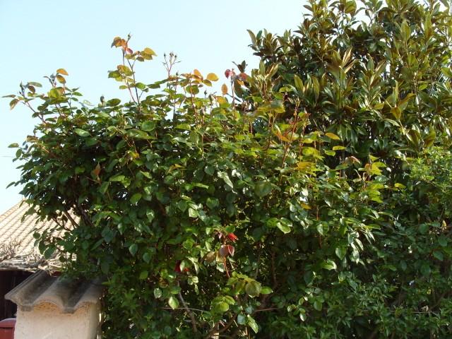 Petit album de roses - Page 3 S1050554