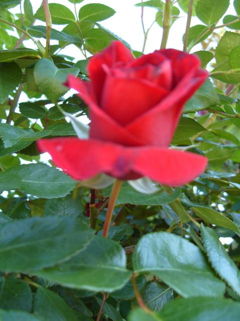 Petit album de roses - Page 3 S1050720