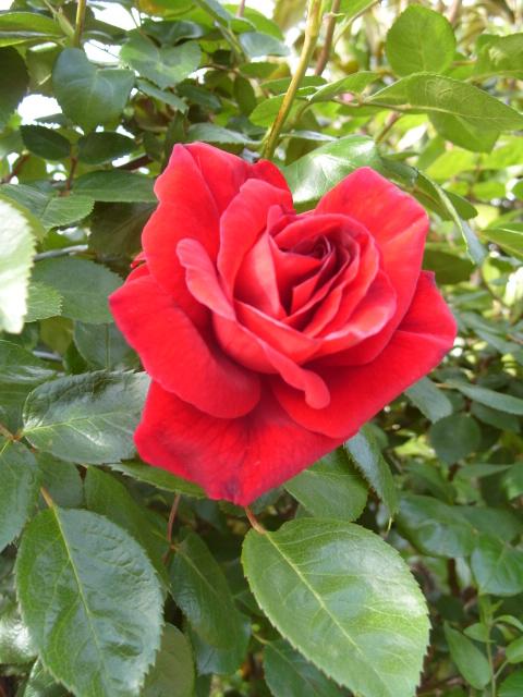 Petit album de roses - Page 3 S1050722