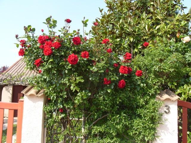 Petit album de roses - Page 3 S1050751