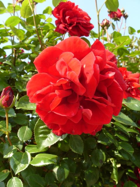 Petit album de roses - Page 3 S1050752