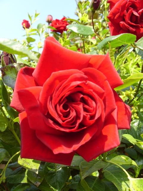 Petit album de roses - Page 3 S1050753