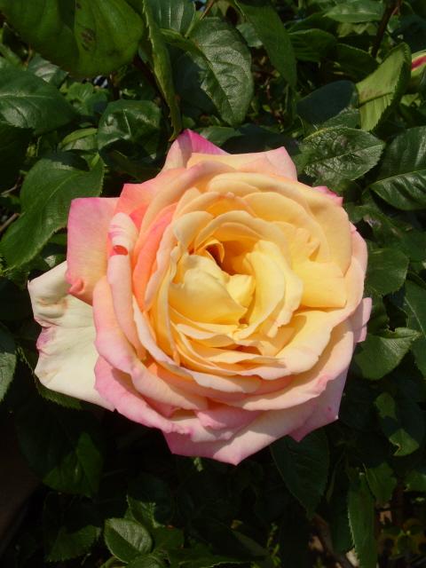 Petit album de roses - Page 3 S1050755