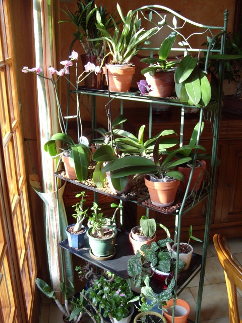 cymbidiums et phalaenopsis S1050762