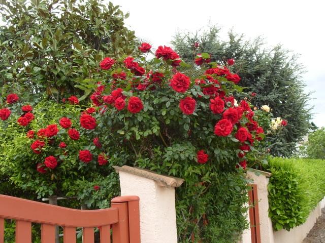 Petit album de roses - Page 3 S1050819
