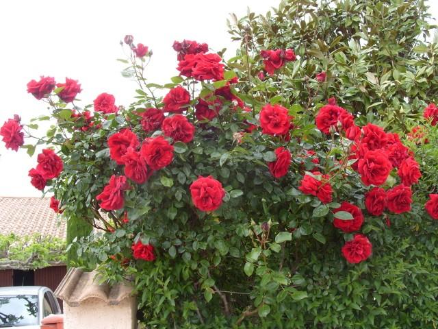 Petit album de roses - Page 3 S1050820