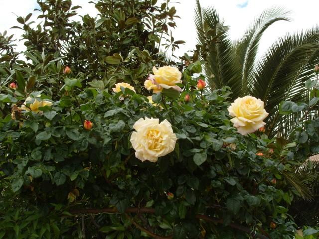 Petit album de roses - Page 3 S1050821