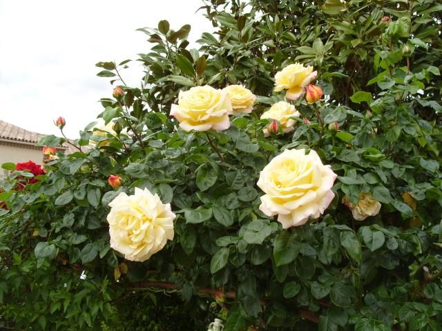 Petit album de roses - Page 3 S1050822