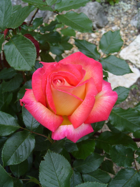 Petit album de roses - Page 3 S1050824