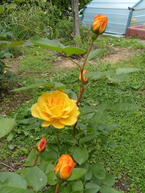 Petit album de roses - Page 3 S1050825
