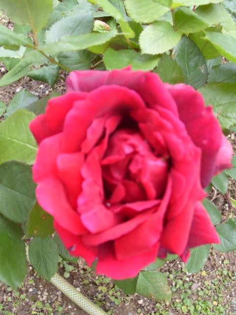 Petit album de roses - Page 3 S1050829