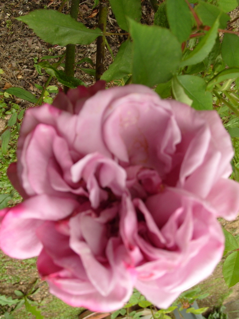 Petit album de roses - Page 3 S1050830