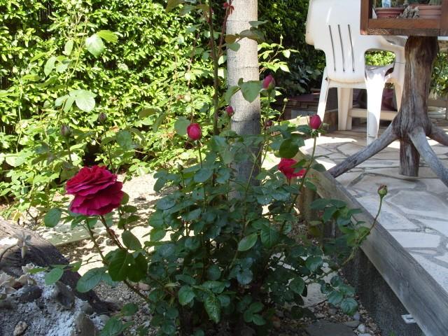 Petit album de roses - Page 4 S1050832