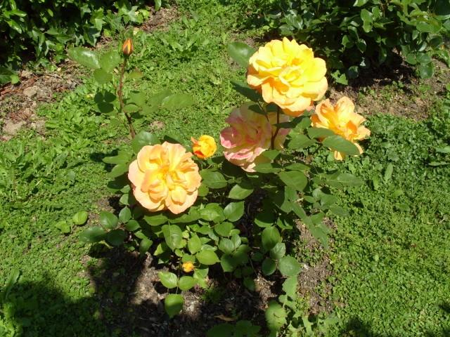 Petit album de roses - Page 4 S1050836