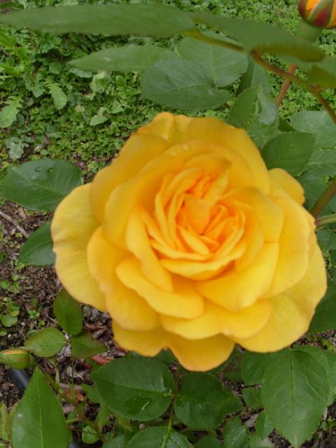 Petit album de roses - Page 4 S1050837