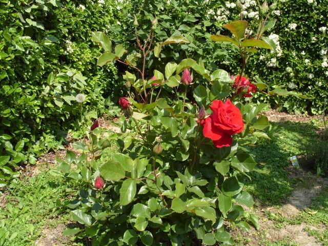 Petit album de roses - Page 4 S1050838