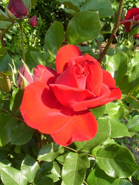 Petit album de roses - Page 4 S1050839