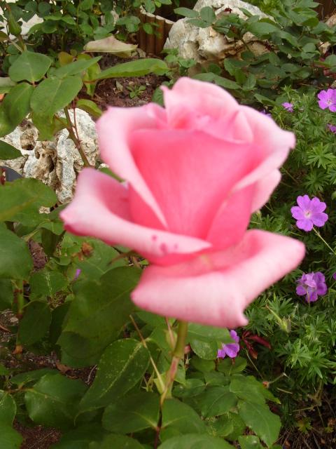 Petit album de roses - Page 4 S1050841
