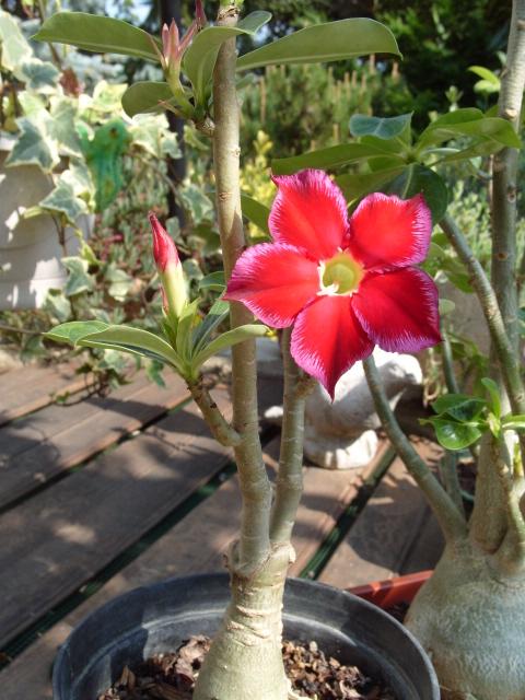 nos bonsaïs et autres ficus S1050852