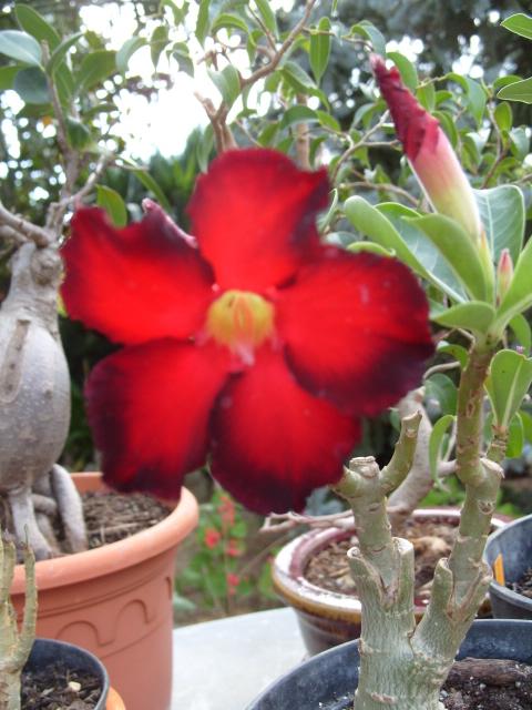 nos bonsaïs et autres ficus S1050853