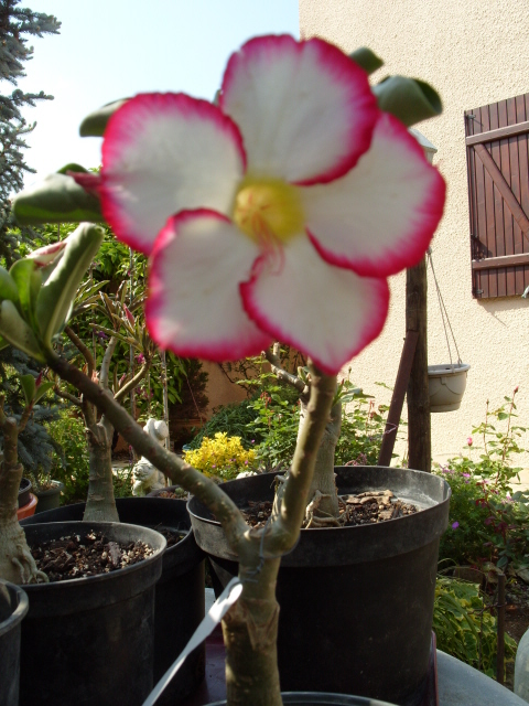 nos bonsaïs et autres ficus S1050855