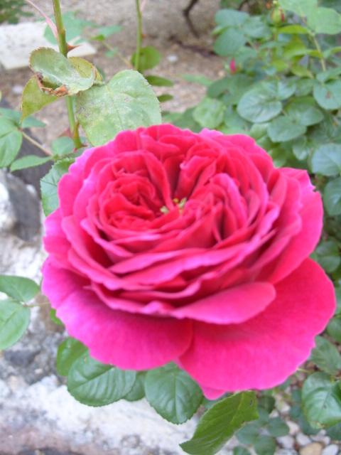 Petit album de roses - Page 4 S1050857
