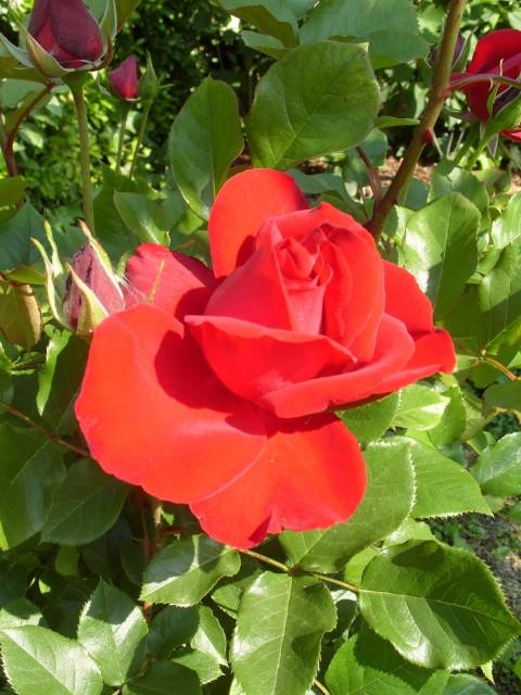 Petit album de roses - Page 4 S1050858