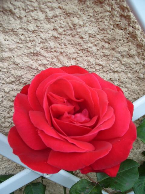 Petit album de roses - Page 4 S1050860