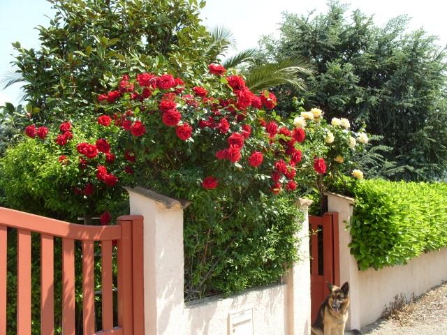 Petit album de roses - Page 4 S1050911