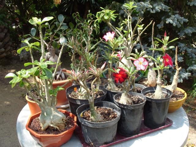 nos bonsaïs et autres ficus S1050928