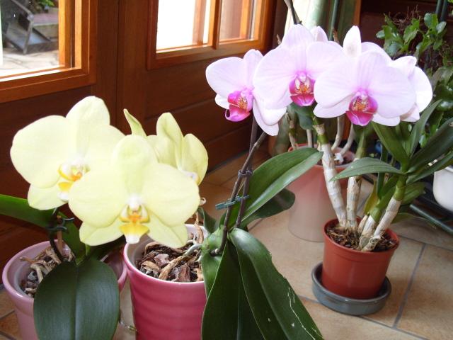 cymbidiums et phalaenopsis S1050937