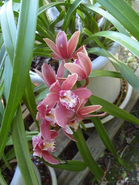 cymbidiums et phalaenopsis S1050938