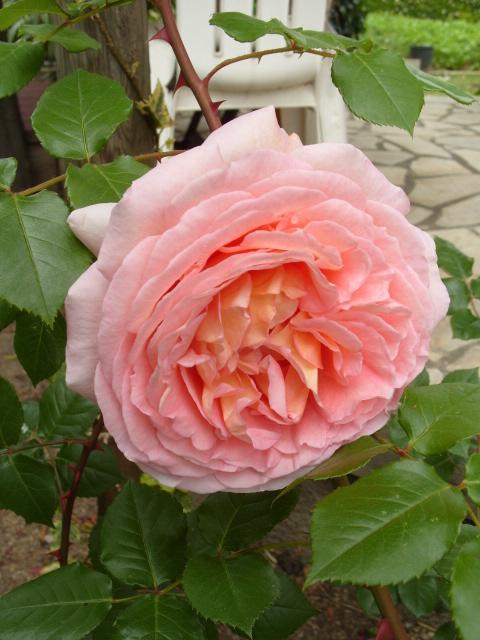 Petit album de roses - Page 4 S1050951
